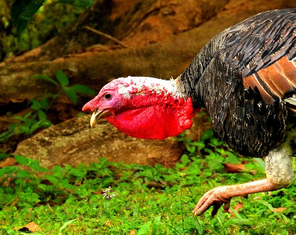 A guinea fowl looking for lunch thumbnail