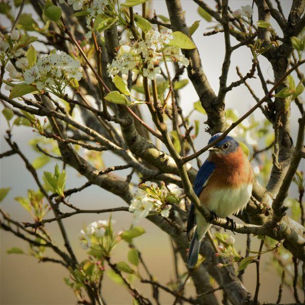Male Eastern Bluebird in Princess Pear Tree thumbnail