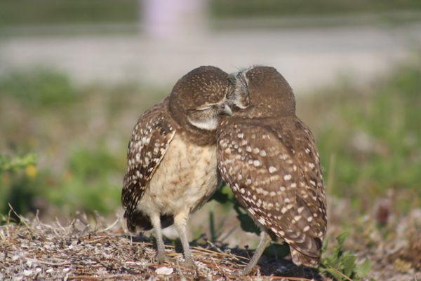 Preening Burrowing Owl Siblings thumbnail