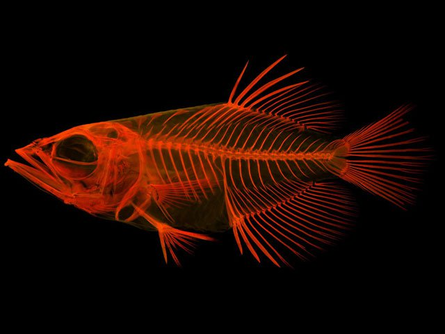 There's a group of fishes that shoot water from their mouth to stun prey. Matt Girard, an ichthyologist at the Smithsonian's National Museum of Natural History, studies these fishes to learn more about what makes them genetically and structurally unique. (Matt Girard, Smithsonian)