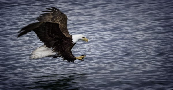 Bald Eagle Hunting thumbnail