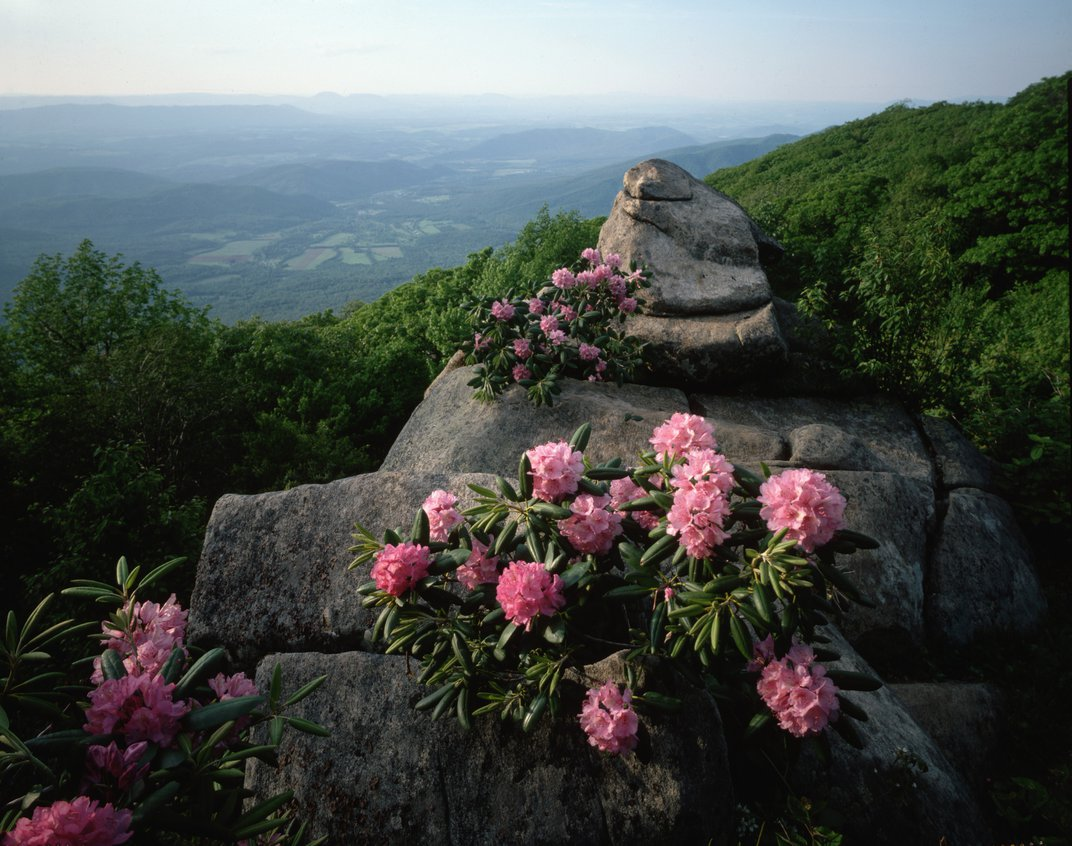 Pink rhododendrons bloom in Doughton Park in a misty mountain valley along the Blue Ridge Parkway, VA. (David Muench/Corbis)