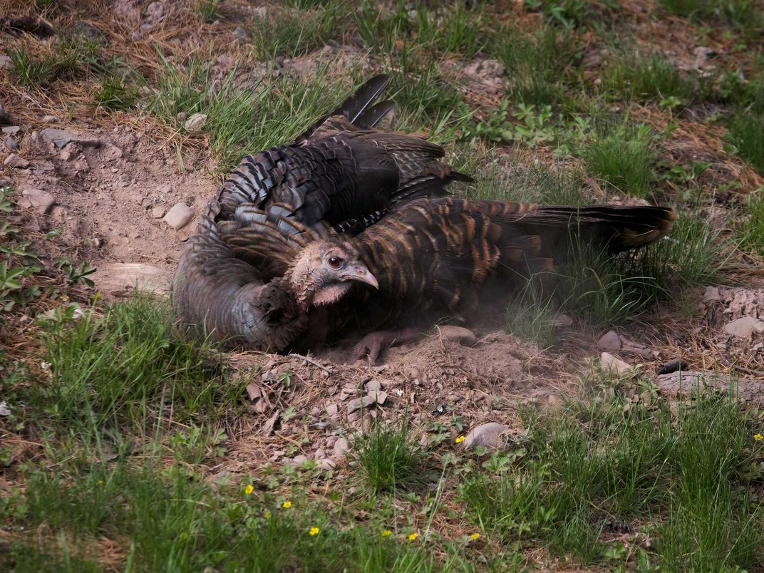 View Amazing Photos and Video of a Turkey Dust Bathing