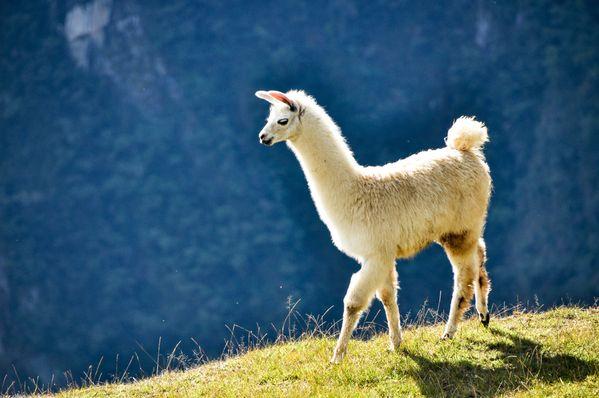 Llama at Machu Picchu thumbnail