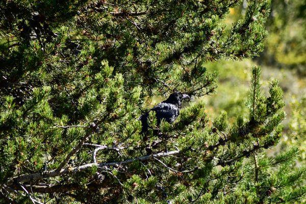 Raven perched on branch thumbnail