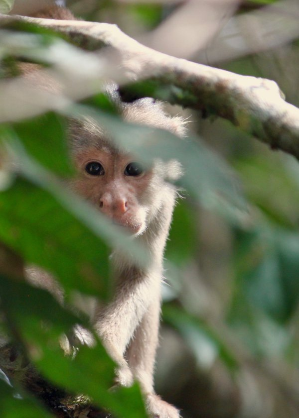 A monkey peeking out at me, Ecuadorian Amazon thumbnail