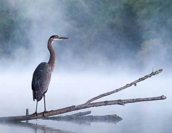 Great Blue Heron in the Mist thumbnail