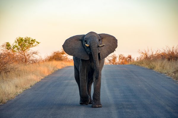 An elephant approaching the van in Kruger National Park thumbnail