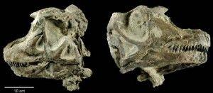 20110520083210Abydosaurus-skull-300x131.jpg