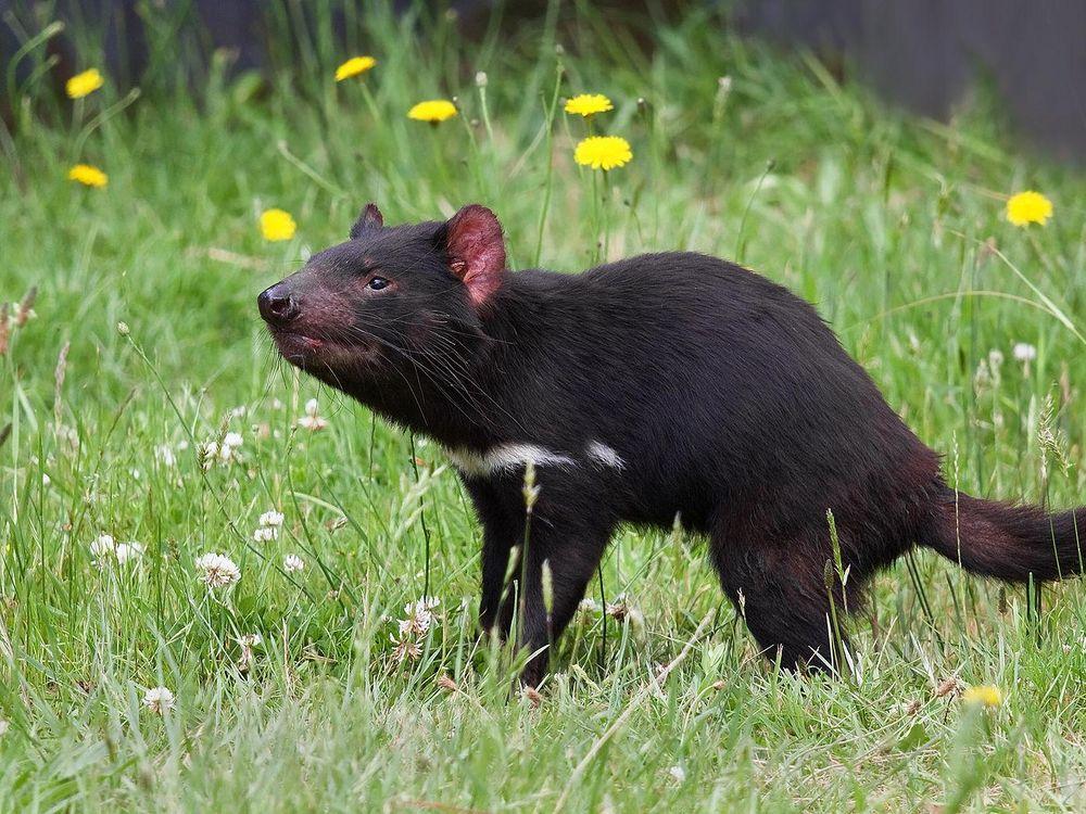 An image of a Tasmanian devil standing in a field of dandelions