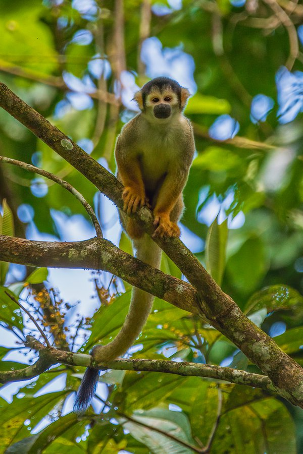 Squirrel Monkey thumbnail