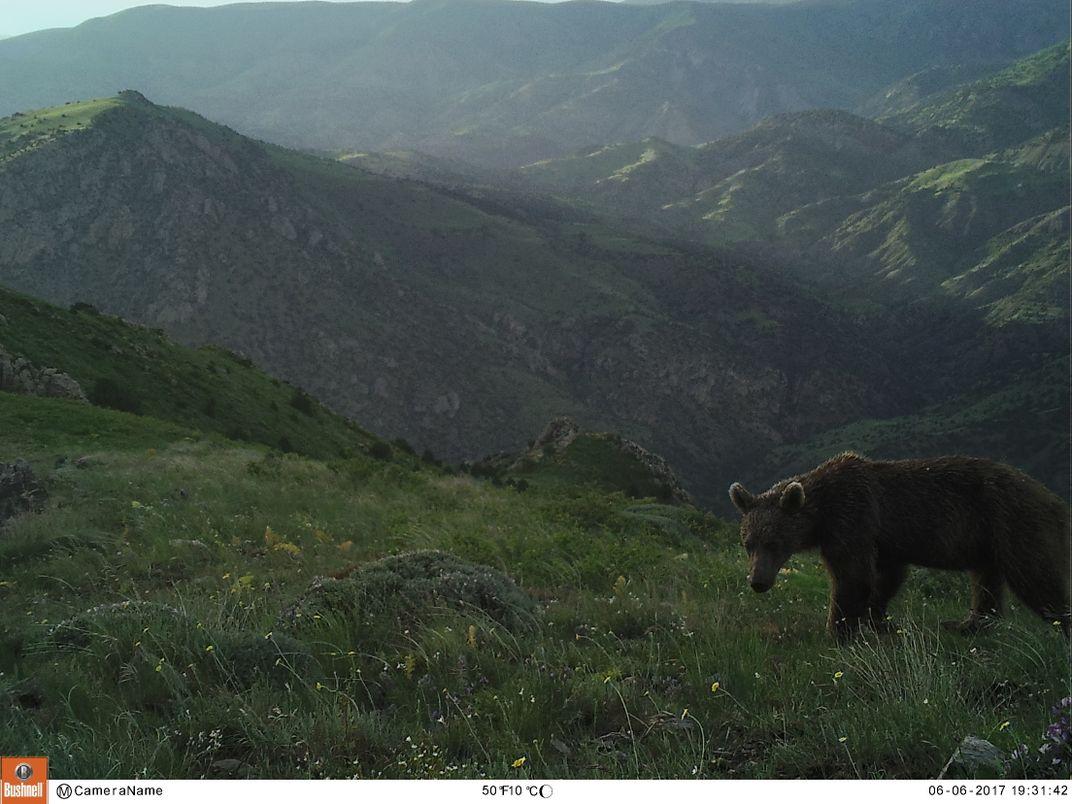Spot the Ultra-Rare Caucasian Leopard in Armenia's Caucasus Wildlife Refuge
