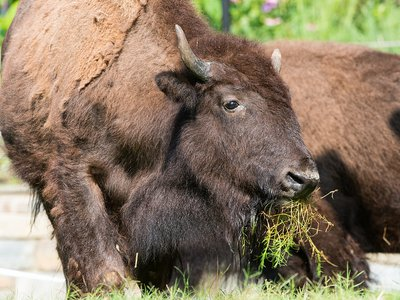 For the first time in more than a decade, bison will roam at the National Zoo.