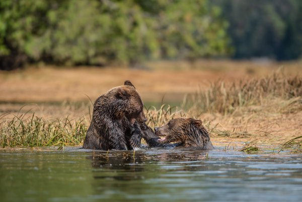 Grizzly siblings fighting thumbnail