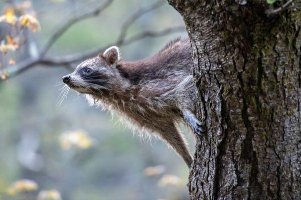 Curious Raccoon thumbnail