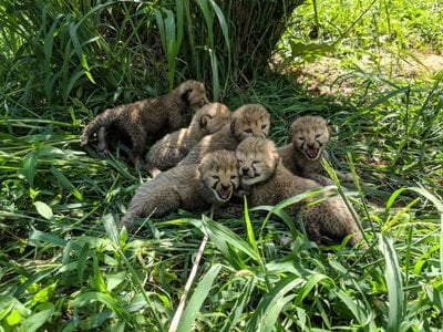The science behind the uptick in cheetah births includes a  new fecal hormone method to determine pregnancy in the animals.