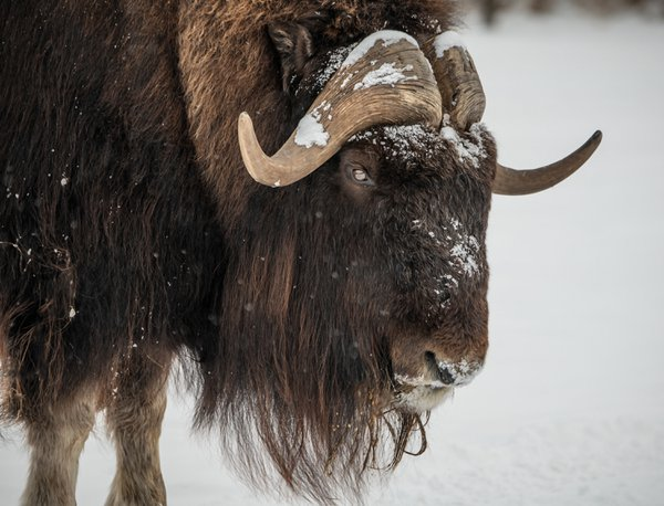 Musk Ox Winter 1 thumbnail