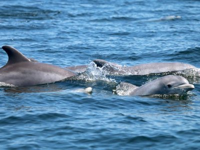 Dolphins and their calves enjoying a summer day in the lower Potomac River.
