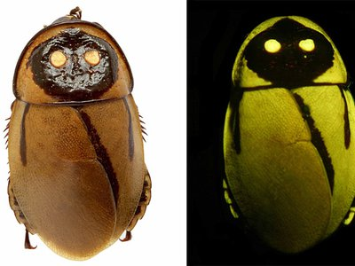 These glow-in-the-dark roaches have the goods.