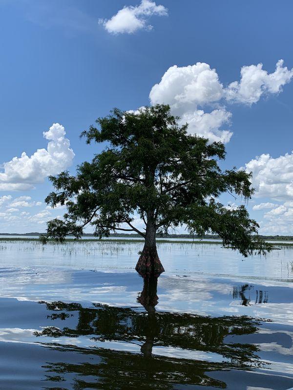cypress Tree in Tohopekaliga lake thumbnail