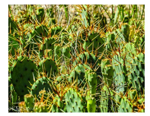 Needles on cactus beside the Arkansas River in Pueblo, Co August 2016 thumbnail