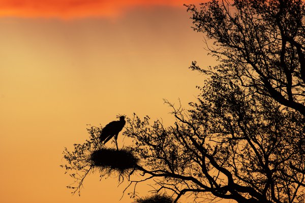 Silhouette of a Secretarybird on a tree thumbnail