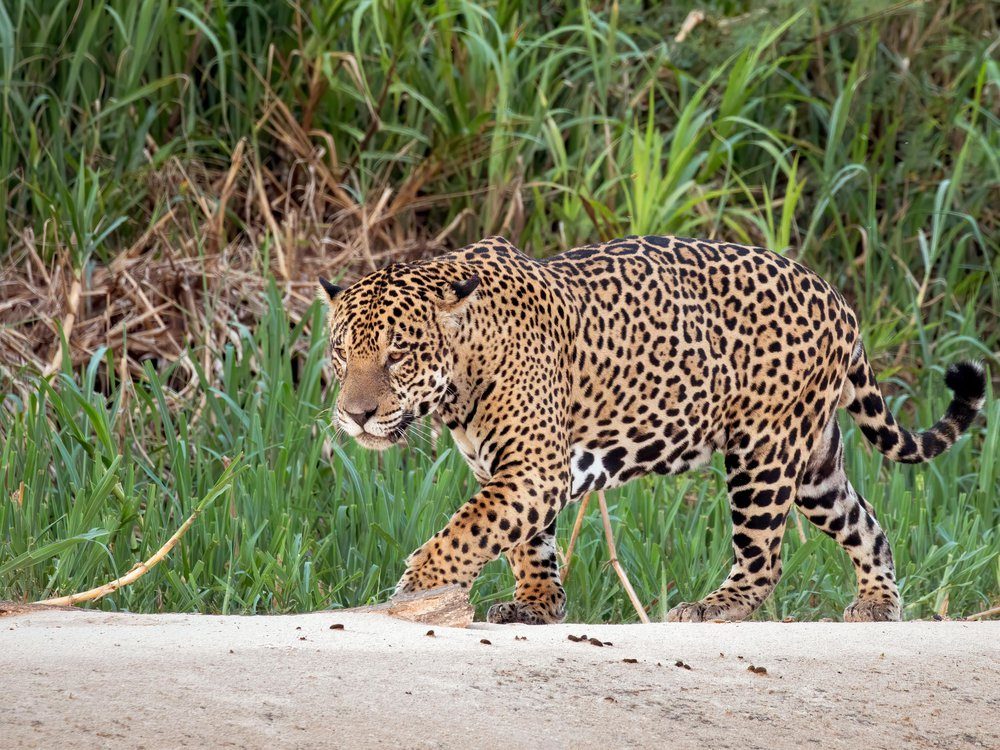 A picture of a beige colored large spotted Jaguar seen stalking towards the left of the picture.