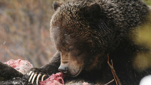 The grizzly bear, known as No. 122, eating the corpse of a black bear.