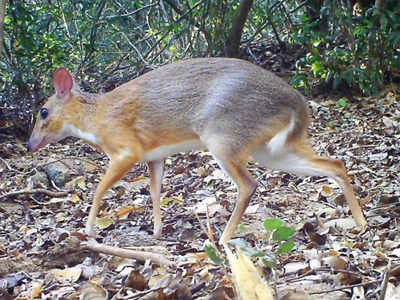 The silver-backed chevrotain hadn't been photographed or studied by scientists in 30 years.