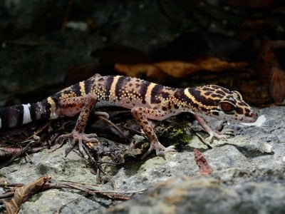 A Libo leopard gecko (Goniurosaurus liboensis). After this species of cave gecko was first described in 2013, it quickly appeared online for sale.