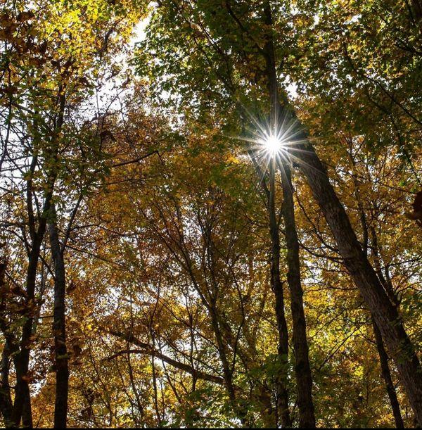 Sunburst in the Woods thumbnail