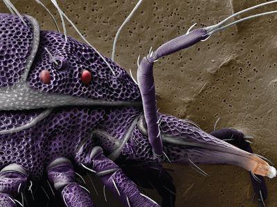 Trachymolgus purpureus