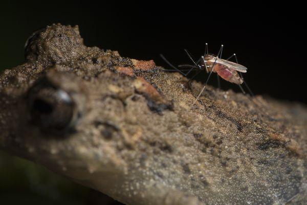 Mosquito Feeding on Frog  thumbnail