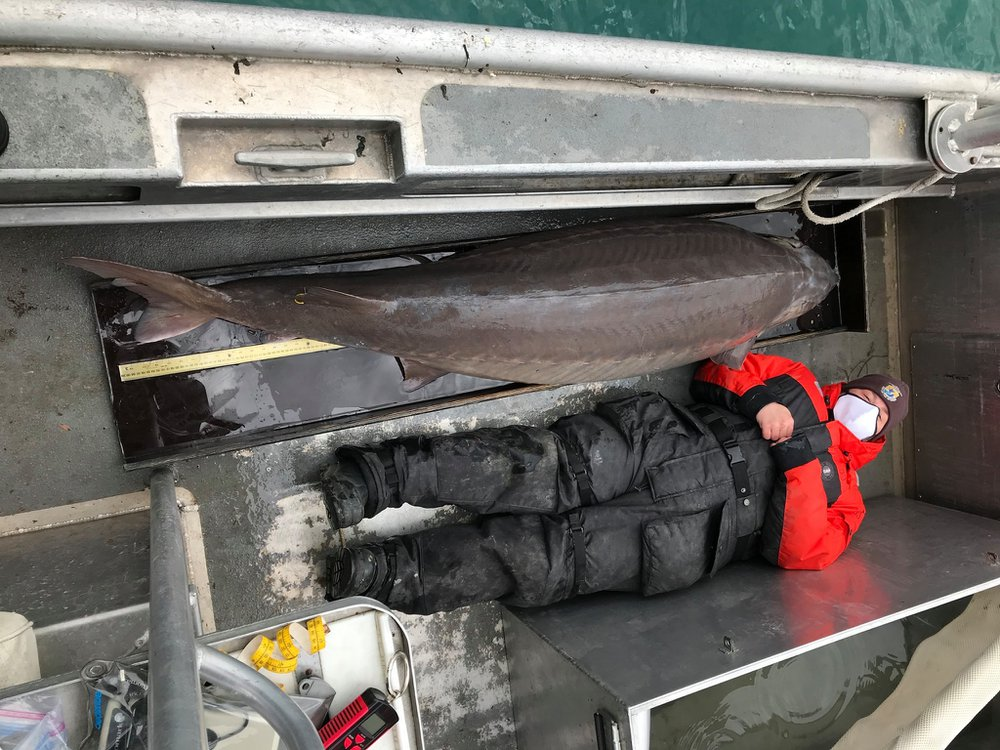 A photo of an enormous brownish grey fish laying on the deck of a boat. Next to the fish is a reseacher dressed in winter gear and a mask. The fish is larger in length than the reseacher.