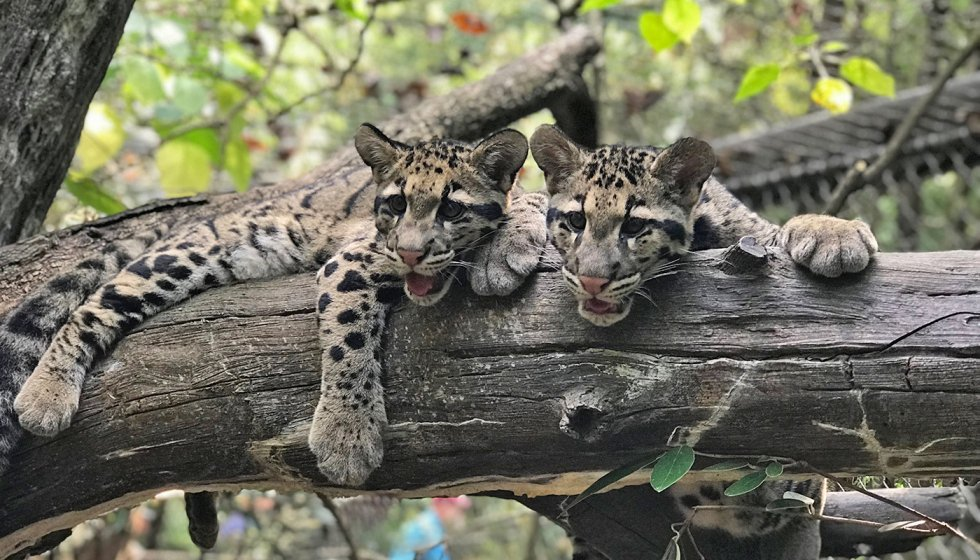 Two clouded leopard cubs with thick, spotted fur, large paws and rounded ears rest together on a wide tree limb at the Smithsonian's National Zoo.