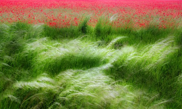The photo represent poppy field and grass land with long exposure... thumbnail