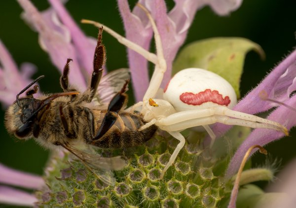 Goldenrod Crab Spider with Bee Prey thumbnail