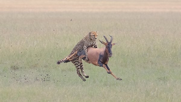 Cheetah catching Topi thumbnail