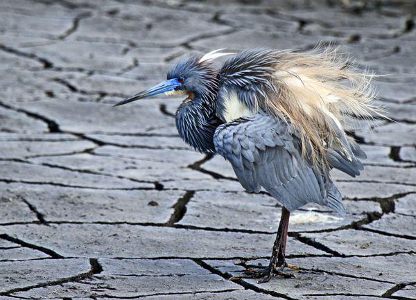 Tricolor Heron in Breeding Plumage thumbnail