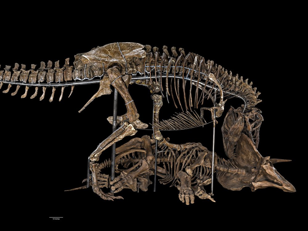 T. rex fossil posed with a Triceratops