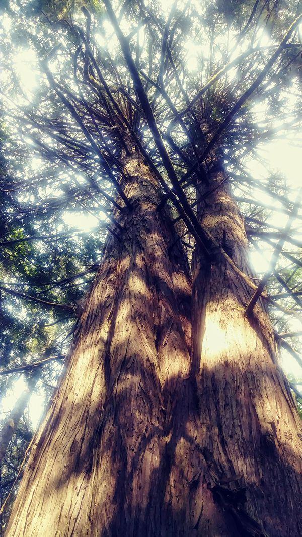 Towering Cedar in woods thumbnail