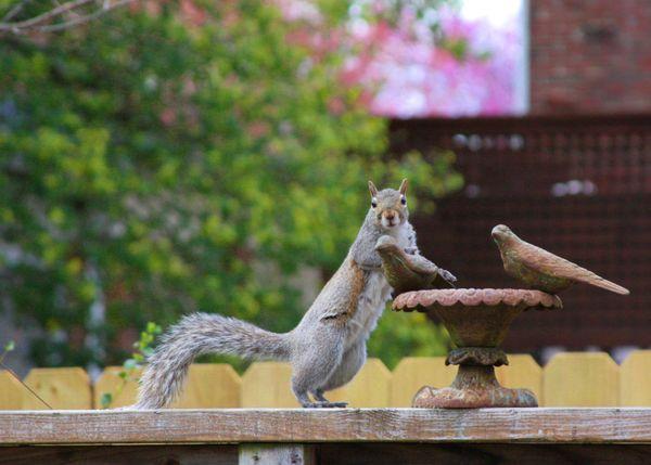Squirrel at Bird Bath thumbnail