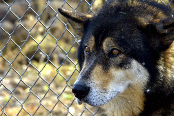 A Wolf Named Ranger thumbnail