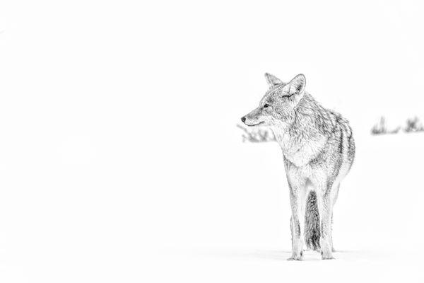 Coyote on white thumbnail