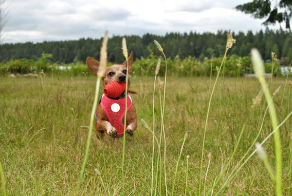 Playtime for chiweenie! thumbnail