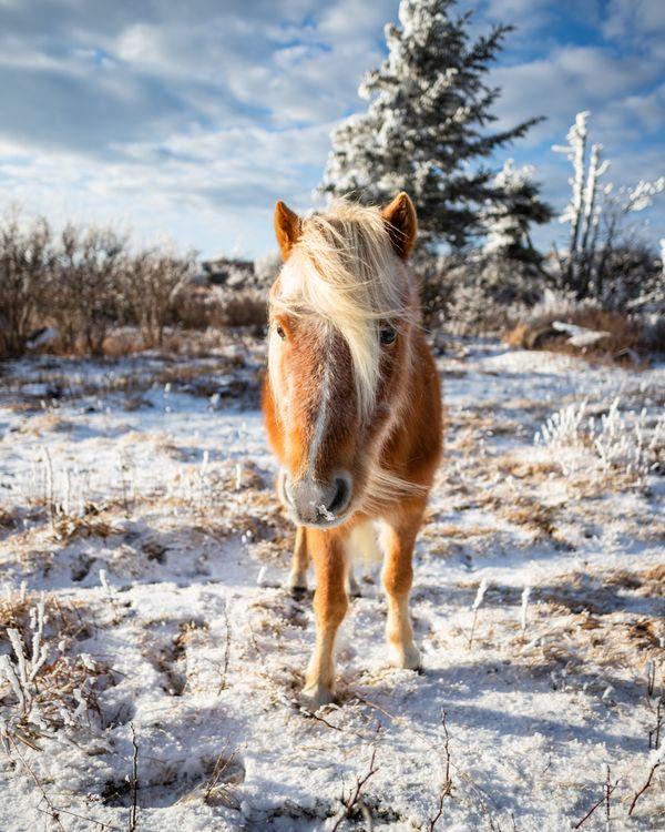 Friendly Pony on Mount Rogers thumbnail