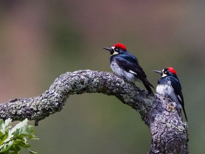 Male acorn woodpeckers, like the one on the left, have more offspring over their lives when they're polygamous, according to new research.