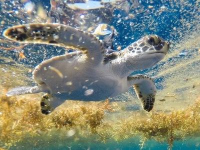 A young green sea turtle with a solar-powered satellite tag that was used to track it to the Sargasso Sea.