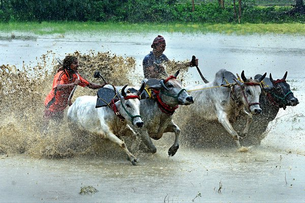 Bullock Race thumbnail