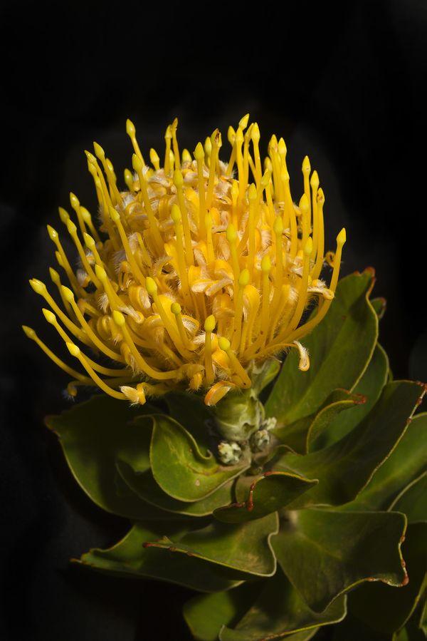 AMONG THE PINCUSHIONS: Overberg Pincushion 'Leucospermum oleifoliumn' thumbnail